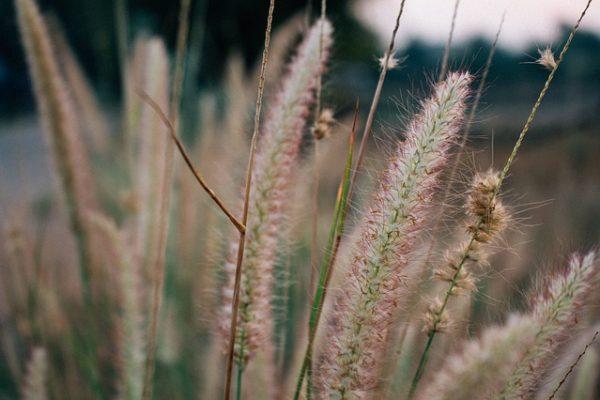flowering-grass-4389707_640